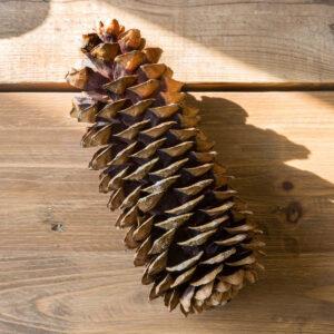 sugar pine cone